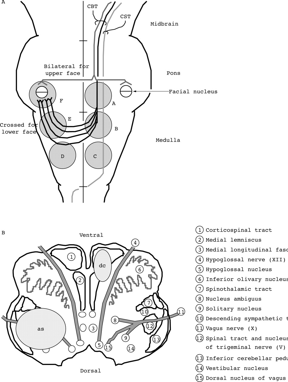 course and distribution of facial corticobulbar tract