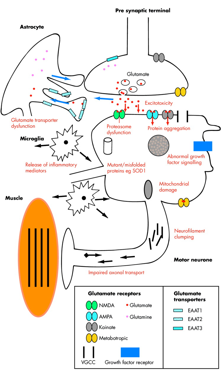 Molecular And Cellular Pathways Of Neurodegeneration In Motor Obviously The Circle With M It Is Fan Download Figure