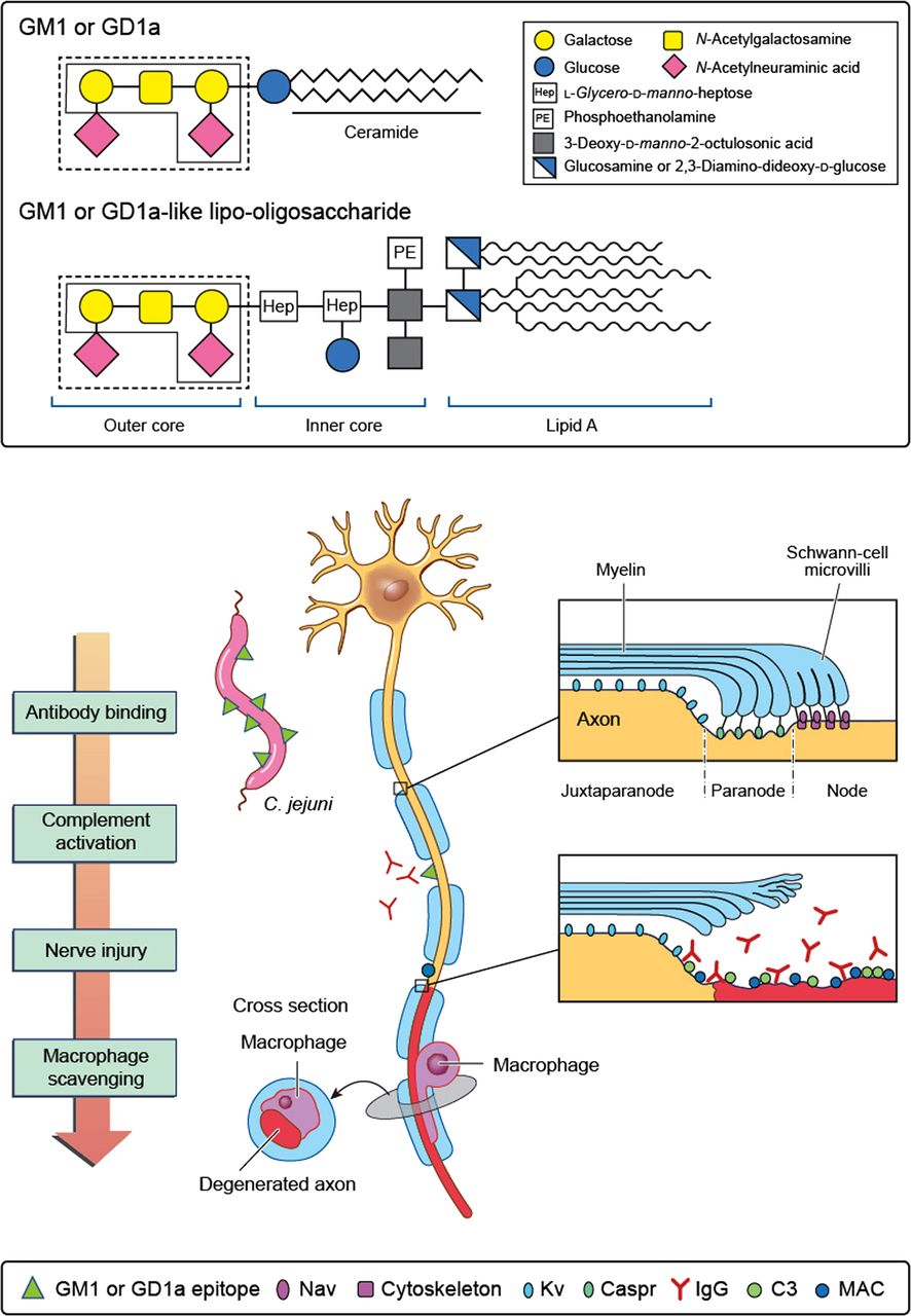 Download figure · Open in new tab · Download powerpoint. Figure 1. Immunopathogenesis of acute motor axonal neuropathy.