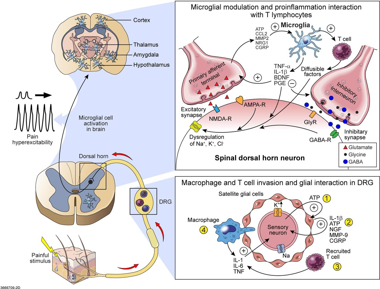 Pain And The Immune System Emerging Concepts Of Igg Mediated Electric Circuits Fields Nuffield Foundation Download Figure